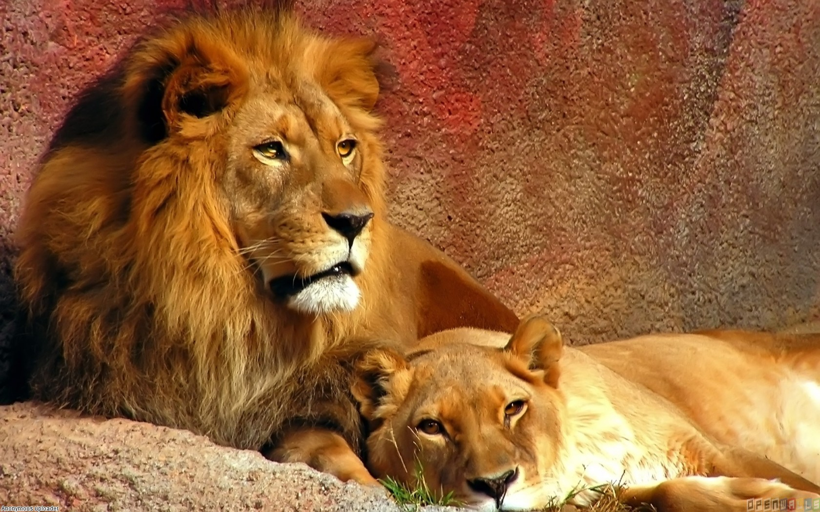 animals wild lions gorgeous wrong watching mate hard alexander scott lion accepting doubling rising goes down animal easy dying mates